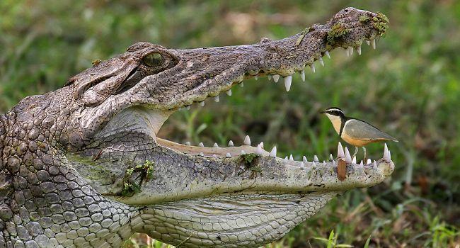 crocodile_et_pluvian_naturailes_650